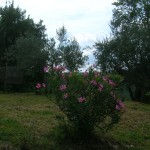 oleandro passeggiando versol'oliveto